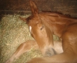 Starlight Filly